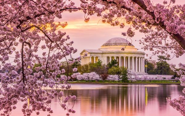 Cherry Blossoms in D.C., Photo Courtesy of www.theodysseyonline.com